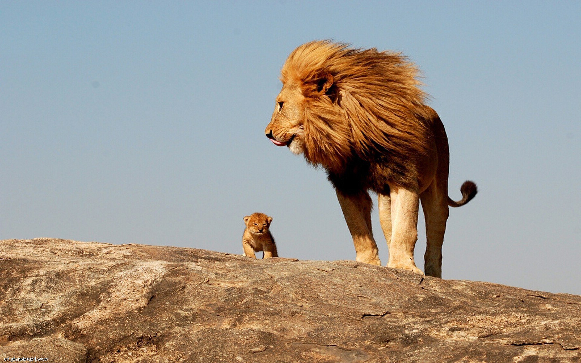 Kölyök oroszlán apjával