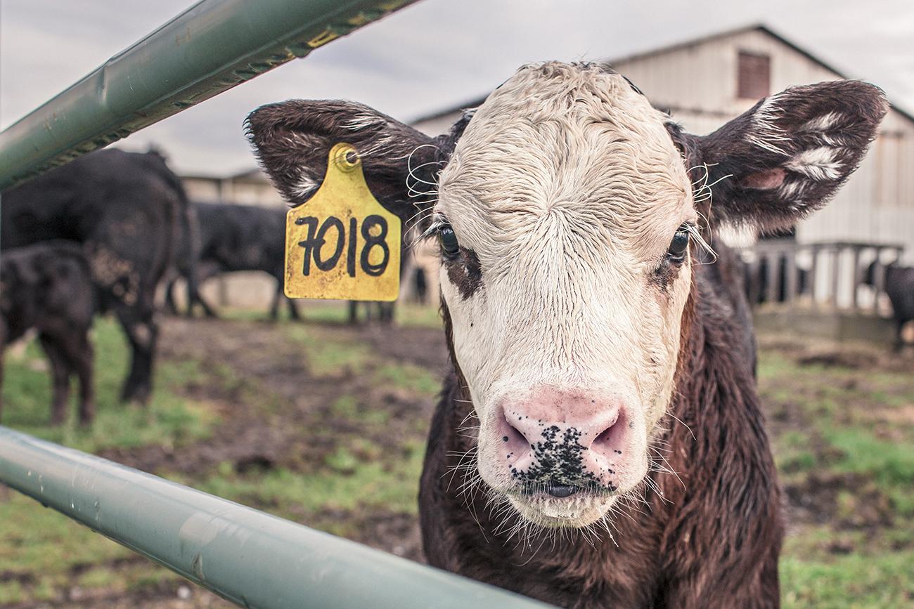Európának a felére kell csökkentenie a marhahús-fogyasztását, ha tartani akarja magát a klímaváltozási célokhoz